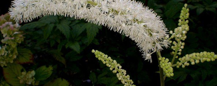 bylinky pre ženy actaea racemosa