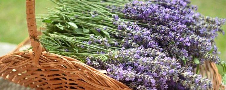 lavender-4021969_640